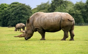 rinocer-300×186